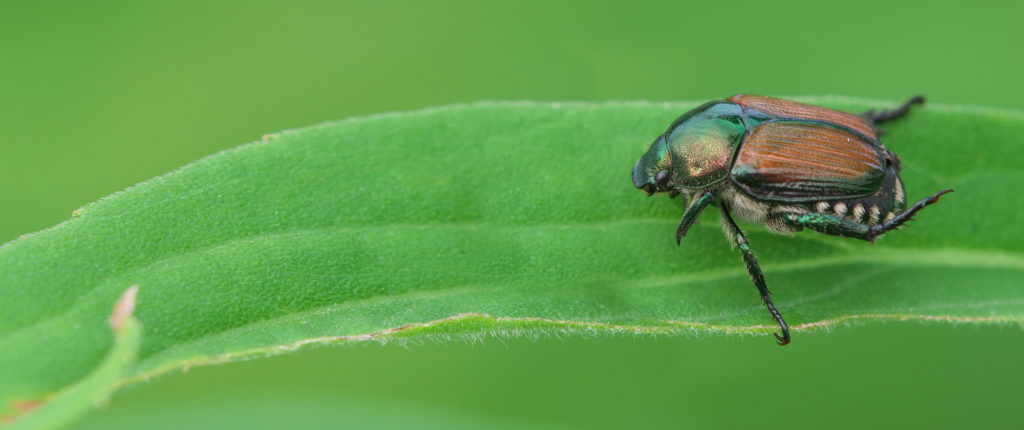 Help to identify agricultural pests - AHDB produces encyclopaedia
